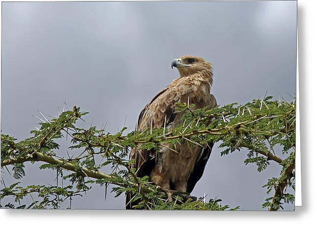 Tawny Eagle Greeting Card by Tony Murtagh