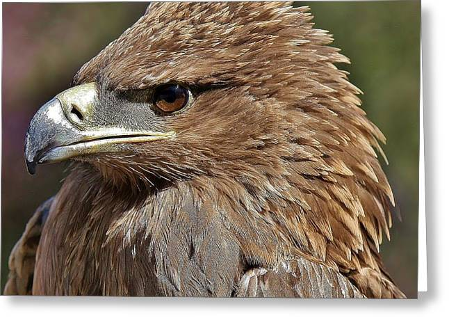 Tawny Eagle Up Close Greeting Card by Paulette Thomas