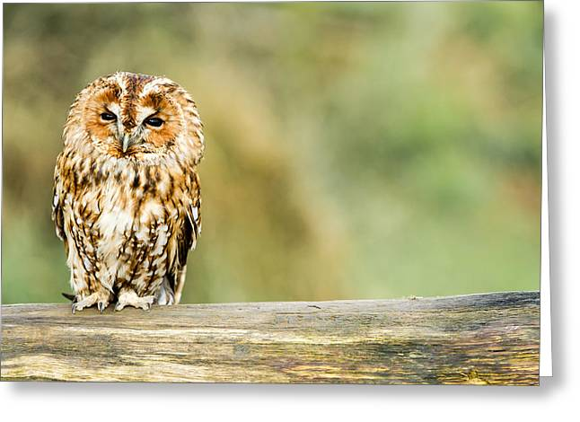 Tawny Owl Greeting Card by George Cox