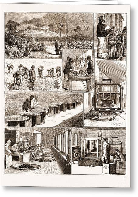 Tea Cultivation In British India, 1876 1. Ging Tea Greeting Card by Litz Collection