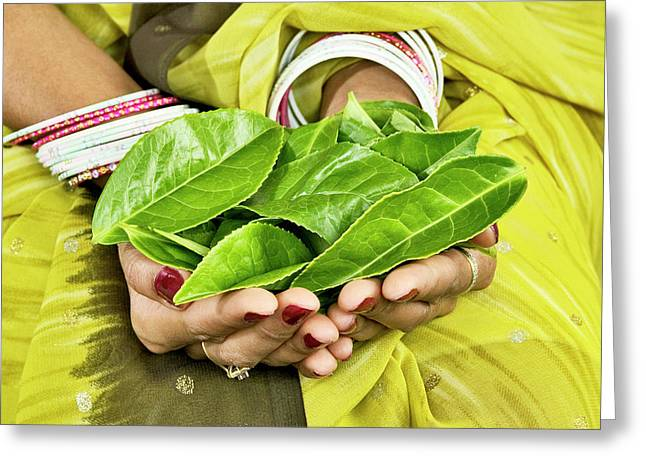 Tea Leaves In Hands Greeting Card by Lea Paterson/science Photo Library