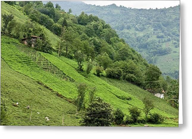 Tea Plantation Greeting Card by Bob Gibbons