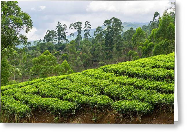 Tea Plants On Hillside Seen Greeting Card by Panoramic Images