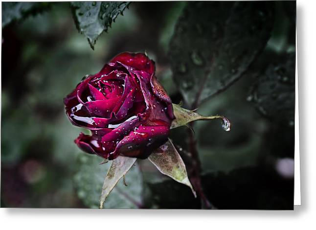 Teardrop Rose Greeting Card by EXparte SE