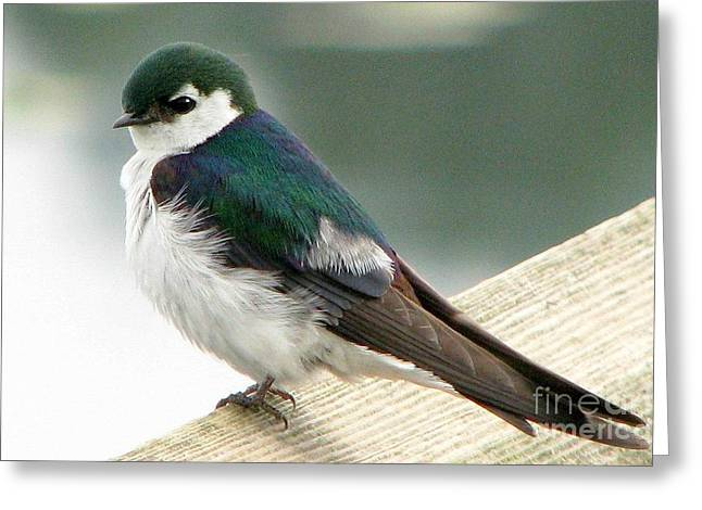 Violet-green Swallow Greeting Card