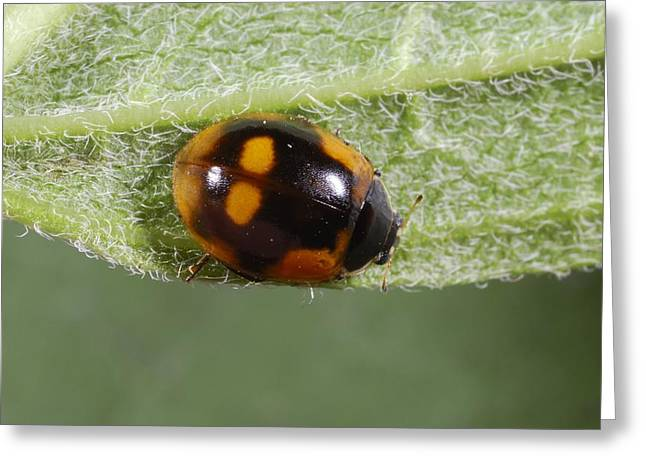Ten-spot Ladybird Greeting Card by Science Photo Library