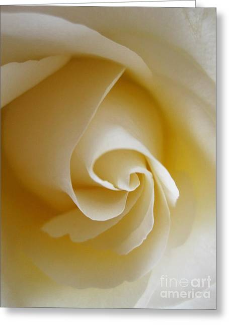 Tenderness White Rose 4 Greeting Card