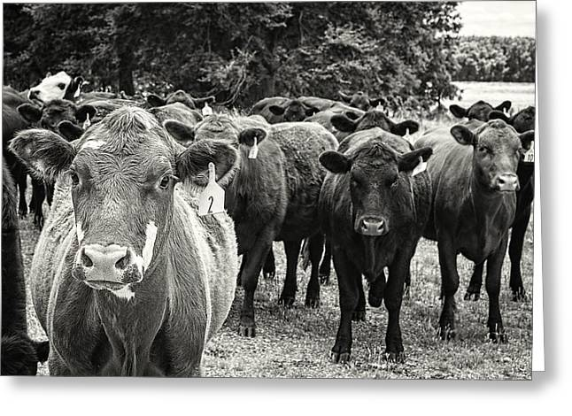 Tennessee Cattle Greeting Card by Jon Woodhams