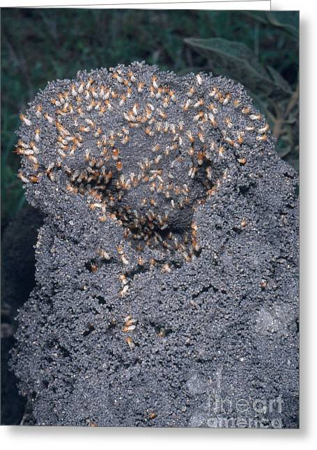 Termites Rebuilding Mound Greeting Card by Gregory G. Dimijian, M.D.