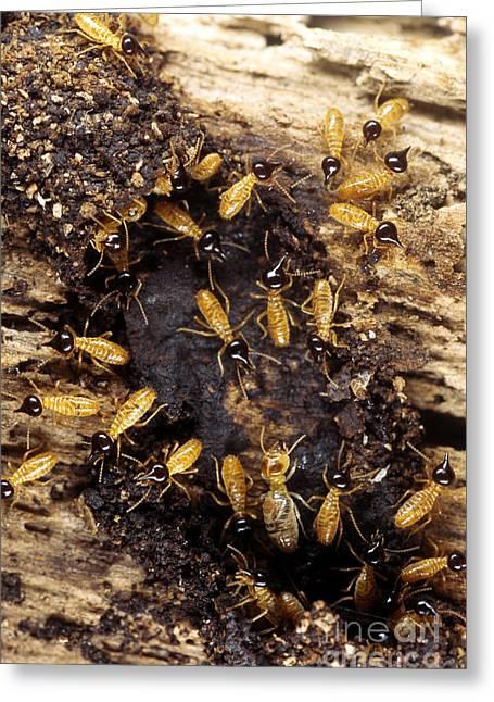 Termites Greeting Card by Scott Camazine