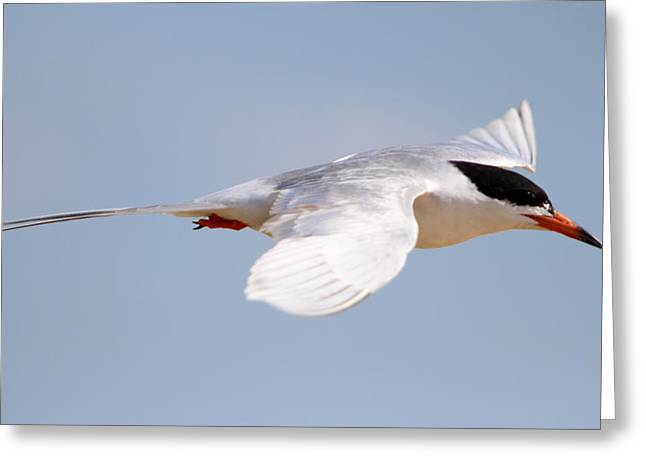 Tern Bird Greeting Card by Diane Rada