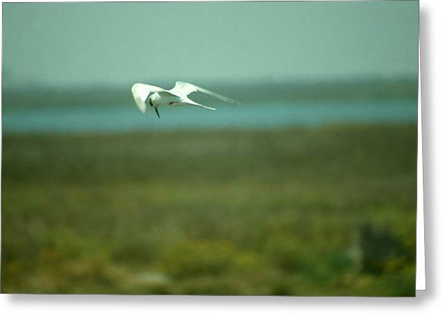 Greeting Card featuring the photograph Tern In Flight by Bonnie Muir