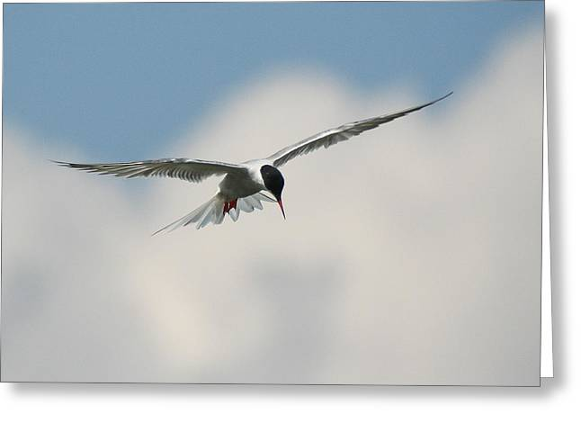 Tern In Flight Greeting Card