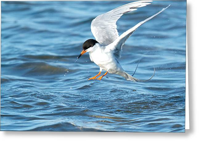 Forster's Tern Taking Flight Greeting Card