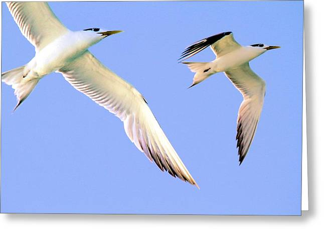 Terns In Flight Greeting Card