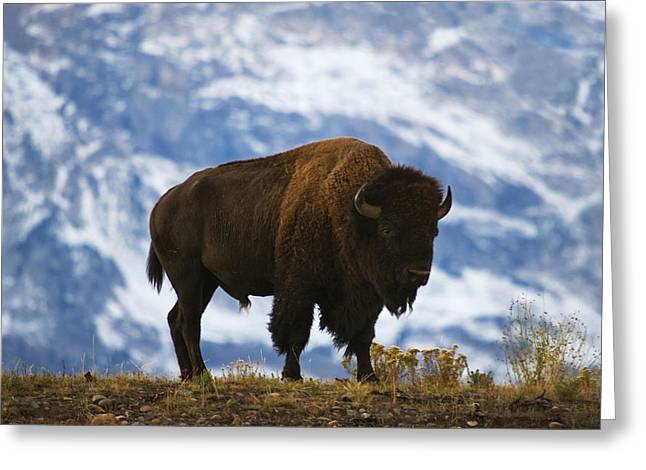 Teton Bison Greeting Card by Mark Kiver