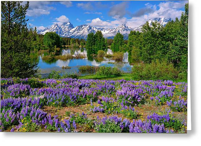 Teton Spring Lupines Greeting Card by Greg Norrell