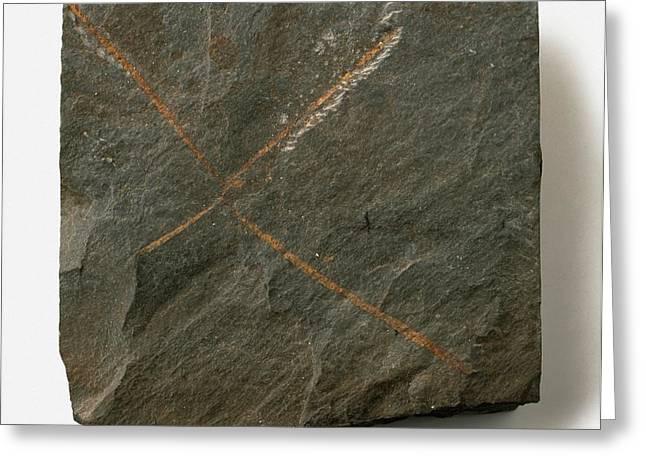 Tetragraptus Fossil Greeting Card by Dorling Kindersley/uig
