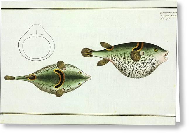 Tetrodon Ocellatus (takifugu Ocellatus) Greeting Card
