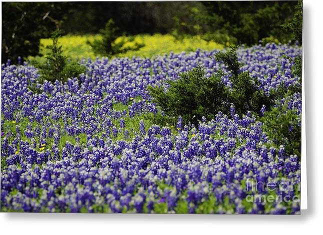 Texas Bluebonnets 1 Greeting Card by Richard Mason