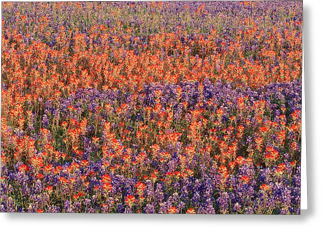 Texas Bluebonnets And Indian Greeting Card by Panoramic Images