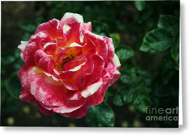 Texas Centennial Rose Greeting Card by M Valeriano