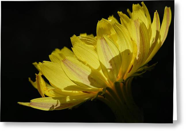 Texas Dandelion Greeting Card