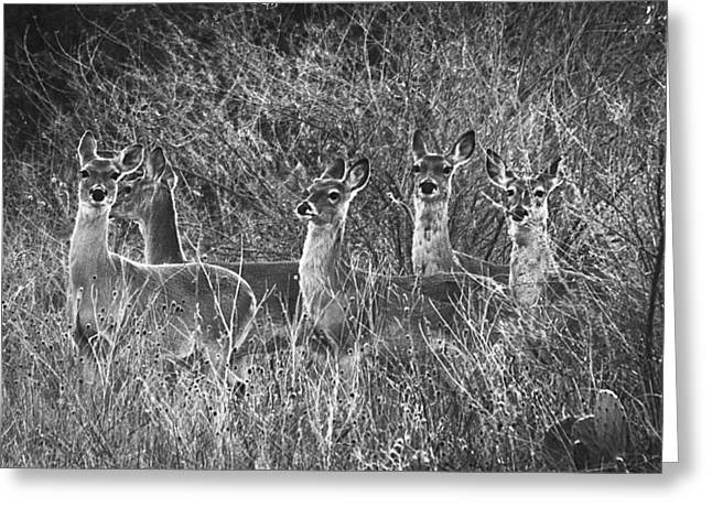 Texas Deer Greeting Card