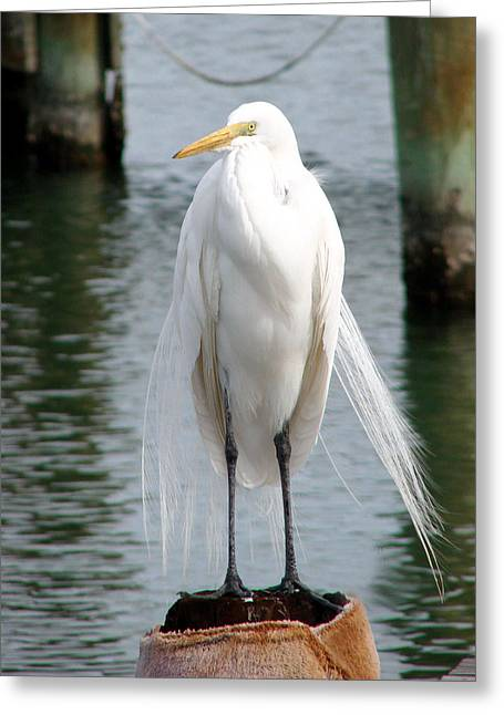 Texas Great White Egret Greeting Card by Linda Cox