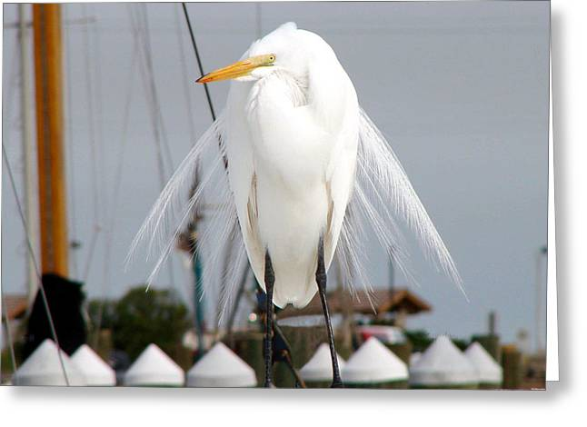Greeting Card featuring the photograph Texas Gulf Coast Great White Egret by Linda Cox