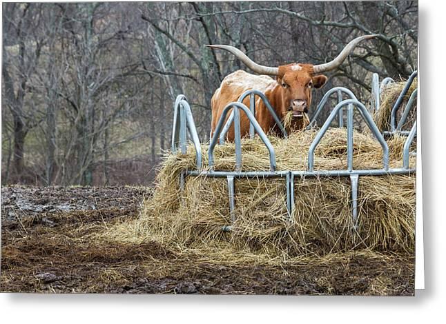 Texas Longhorn Cow At A Hay Feeder Greeting Card