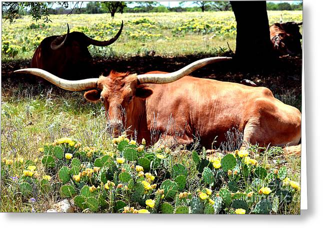 Texas Longhorns 2 Greeting Card