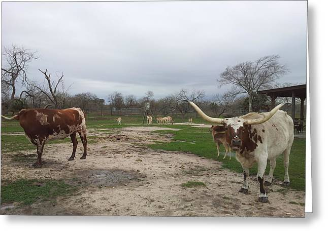 Texas Longhorns Greeting Card by Shawn Marlow