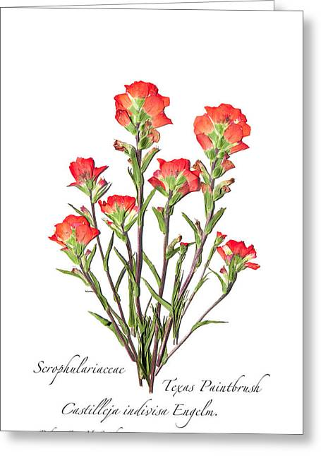 Texas Paintbrush 2 Greeting Card