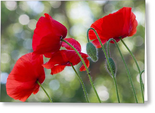 Texas Poppies Greeting Card by April Nowling