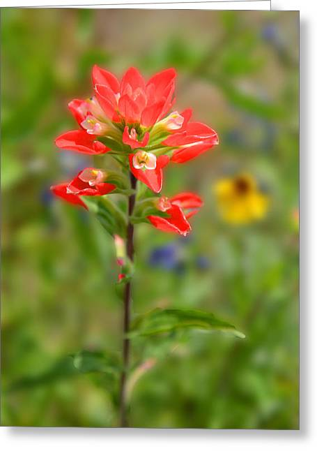 Texas Red Indian Paintbrush Greeting Card by Lynn Bauer