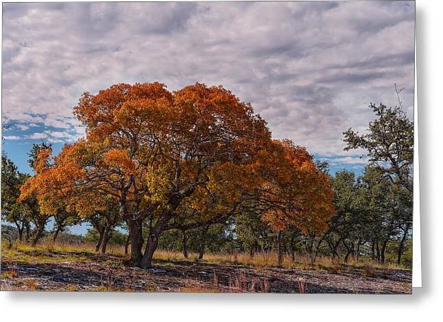 Texas Red Oak On Fire In The Hill Country - Fall Foliage Season In Central Texas Greeting Card by Silvio Ligutti