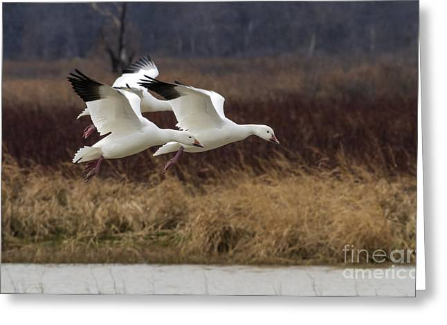 Texas Snow Geese Greeting Card