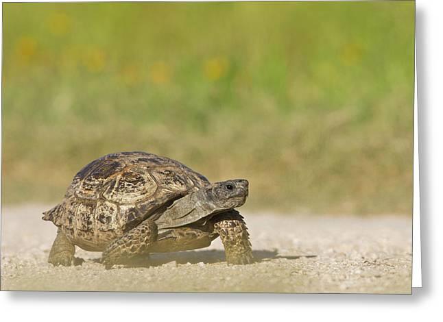 Texas Tortoise (gopherus Berlandieri Greeting Card