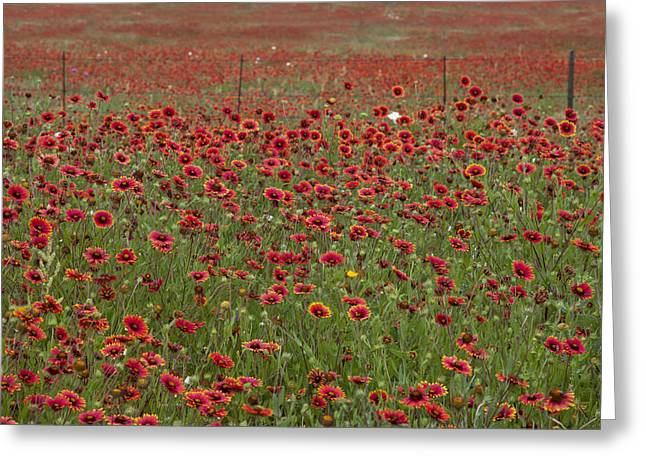 Texas Wildflowers Indian Blankets In The Texas Hill Country Greeting Card by Rob Greebon