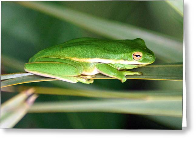 The American Green Tree Frog Greeting Card by Kim Pate