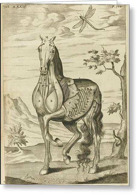 'the Anatomy Of A Horse Greeting Card by Celestial Images