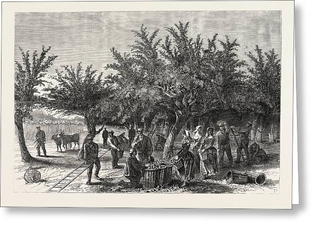 The Apple Harvest In Jersey Greeting Card