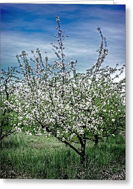 The Apple Tree Blooms Greeting Card