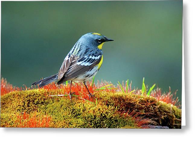 The Audubon's Warbler (setophaga Greeting Card