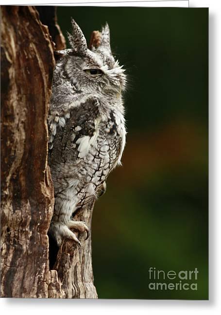 The Awakening Eastern Screech Owl Greeting Card