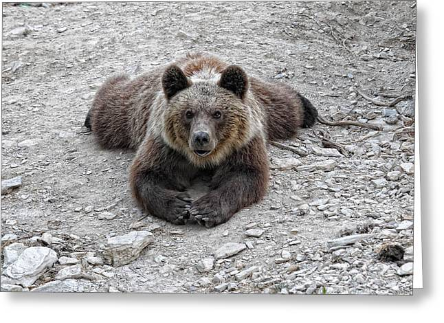The Bear Resting Greeting Card
