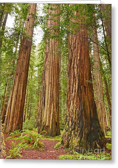 The Beautiful And Massive Giant Redwoods Sequoia Sempervirens In Redwood National Park. Greeting Card