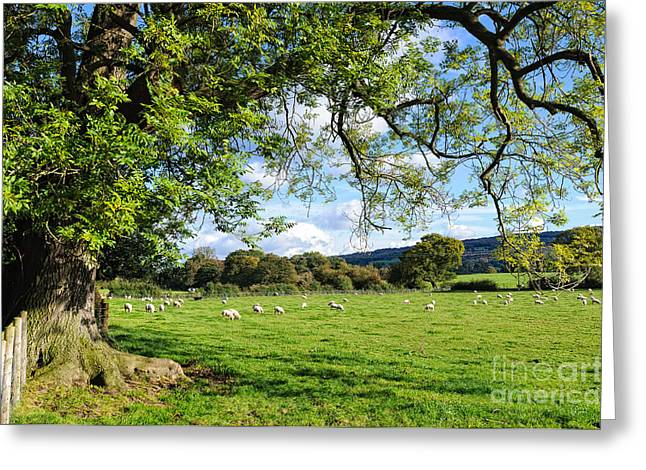 The Beautiful Cheshire Countryside - Large Oak Tree Frames A Field Of Lambs Greeting Card