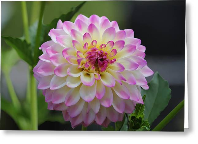 The Beautiful Dahlia Greeting Card